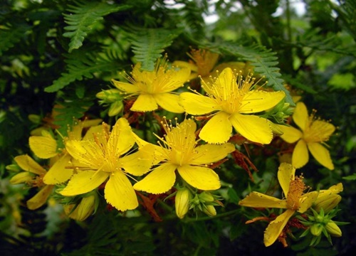 sarı kantaron, sarı kantaronun kullanımı, sarı kantaronun faydaları