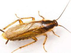 kalorifer böceği, kalorifer böceğinin ilaçlanması, kalorifer böceği nasıl ilaçlanır